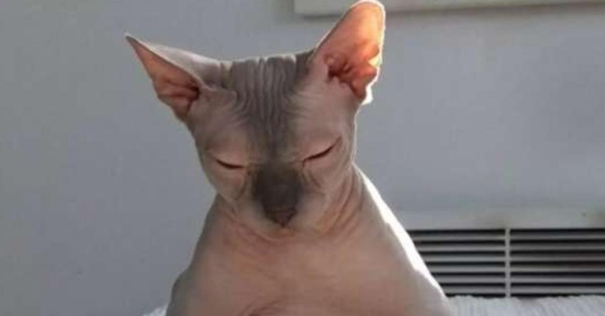 Amsterdam gattino Sphynx video