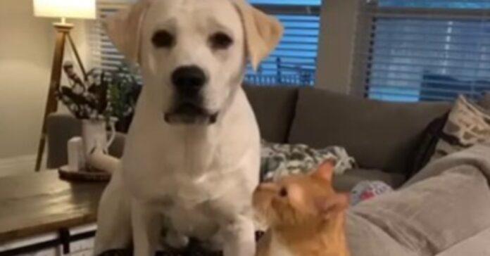 gattino soriano Simba e Labrador video