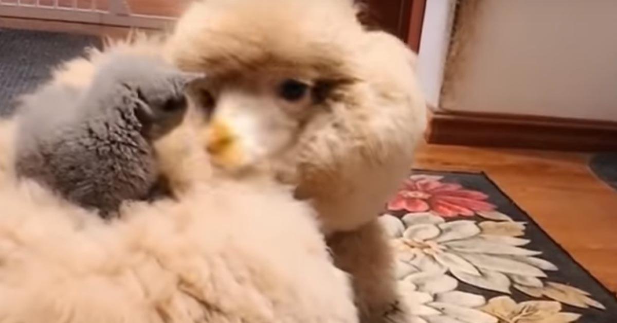 Gattino con un'alpaca