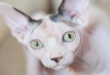gatto sphynx primo piano