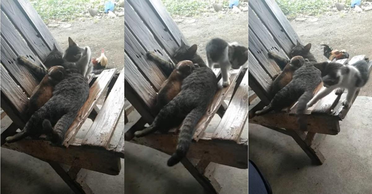 Mamma gatta adotta un cucciolo e il suo gattino si ingelosisce