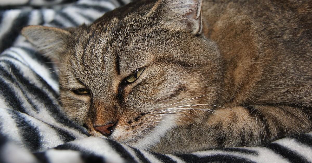 Perché dovresti preoccuparti se il tuo gatto si nasconde