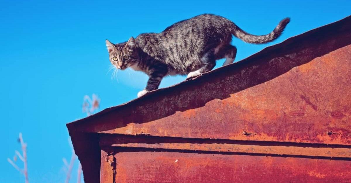 gatto su tetto