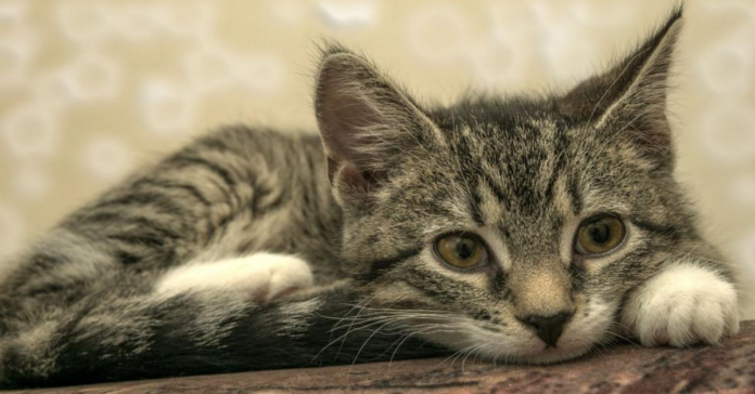 gattino grigio si fa massaggiare