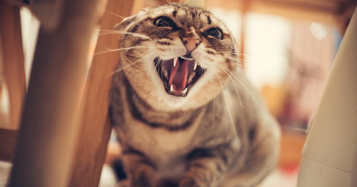 gatto che sta soffiando