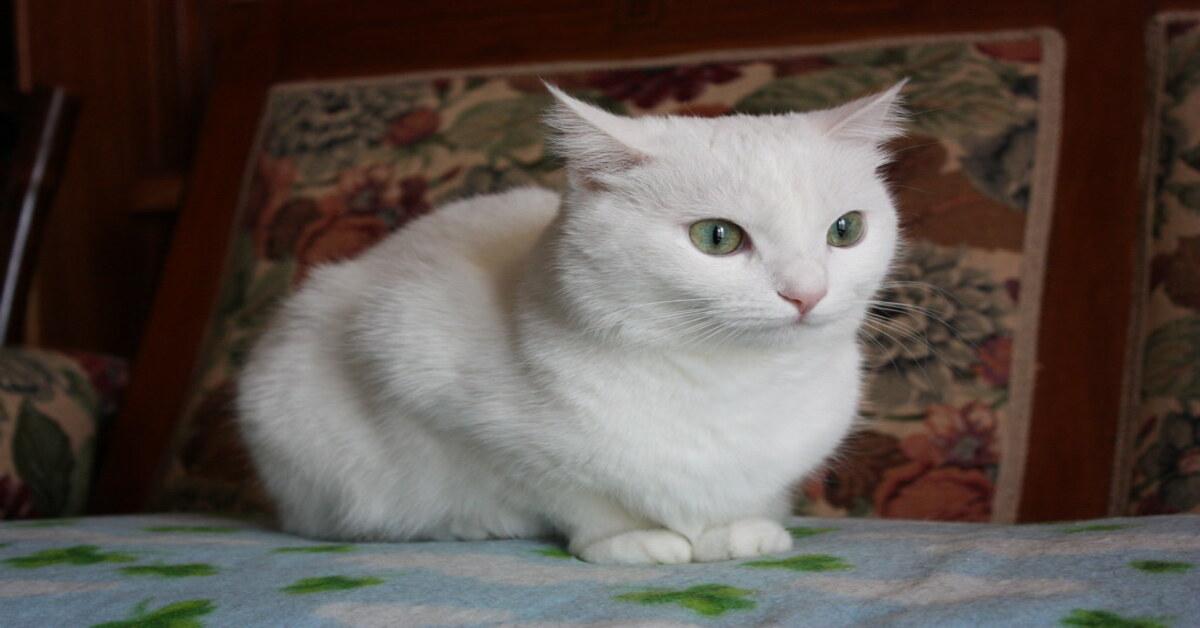 Svelato il motivo per cui quasi tutti i gatti bianchi hanno questo difetto, ed è sorprendente