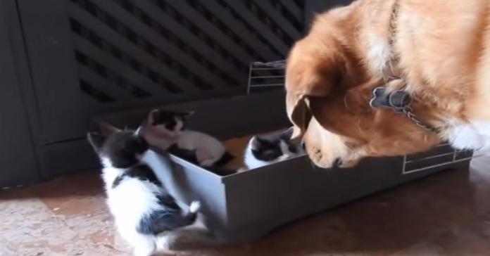 Aragon con scatola di gattini