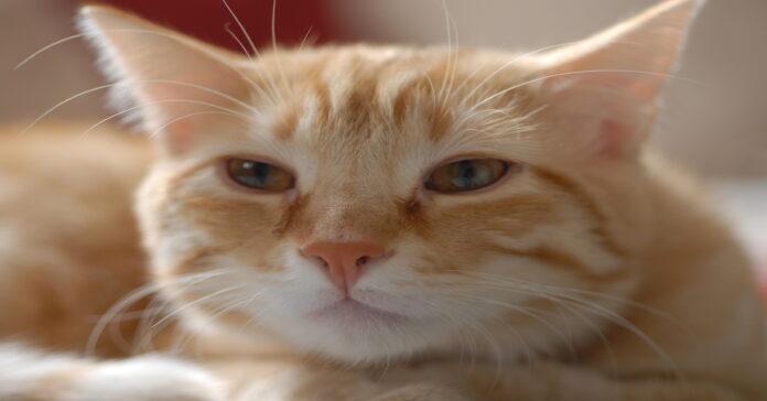 tigger gattino europeo video