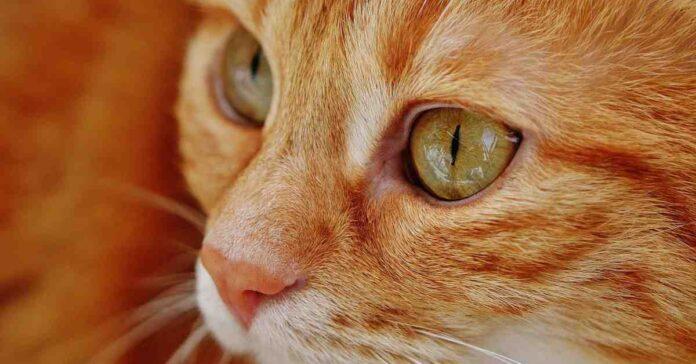 gatto rosso in primissimo piano