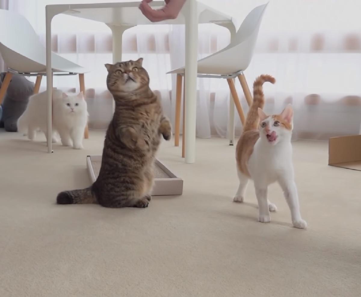 gatti sfida vera e propria