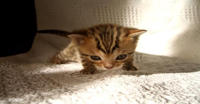 gattino Bengala