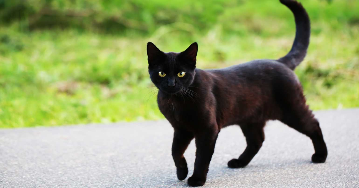 gatto nero cammina per strada