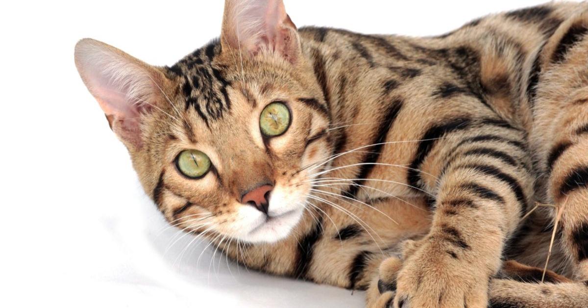 gatto Bengala sdraiato