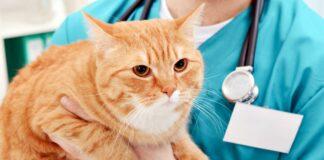 veterinario tiene in braccio un gatto arancione
