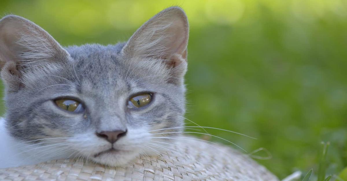 gatto grigio sguardo perplesso