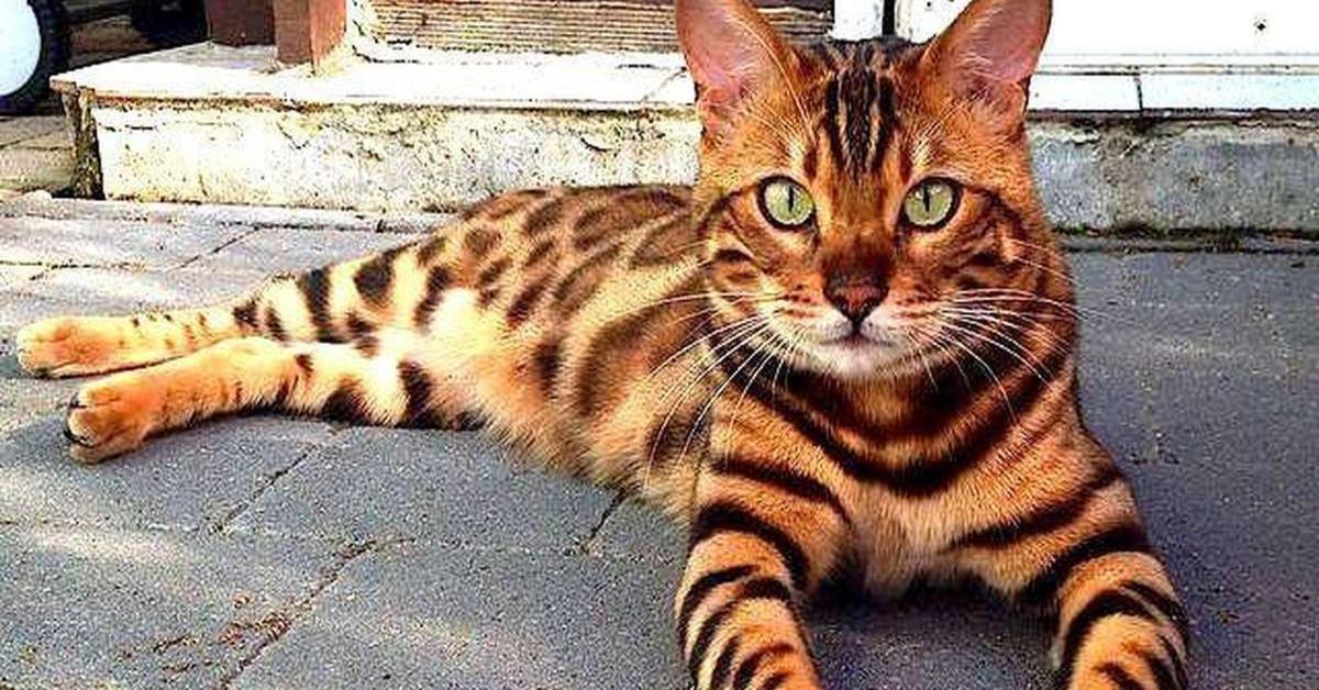 Gatto Bengala seduto