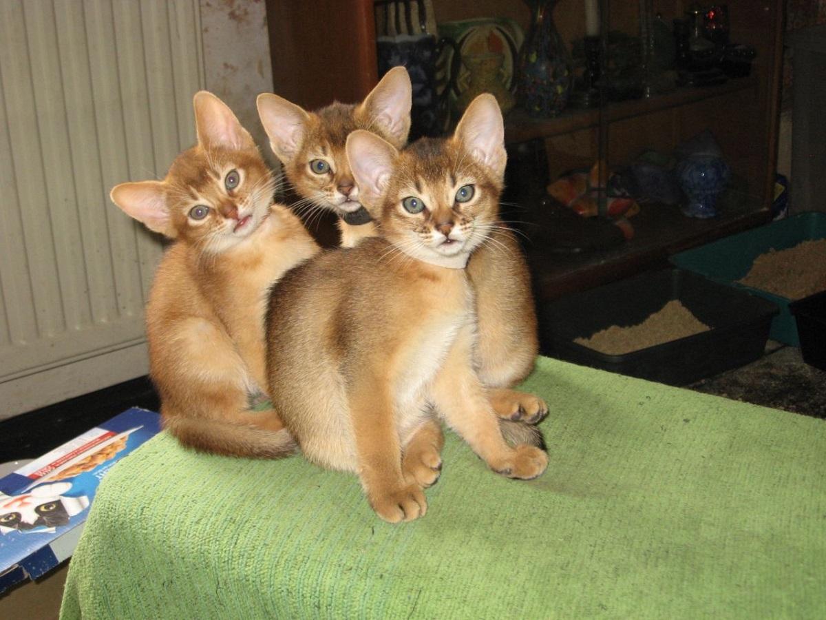 tre cuccioli di gatto abissino