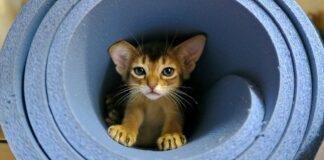 cucciolo di gatto che gioca