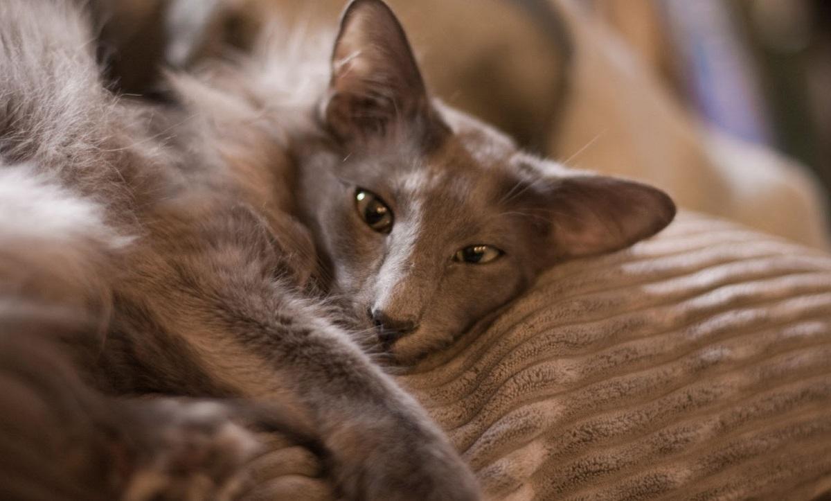 gatto dal pelo marrone