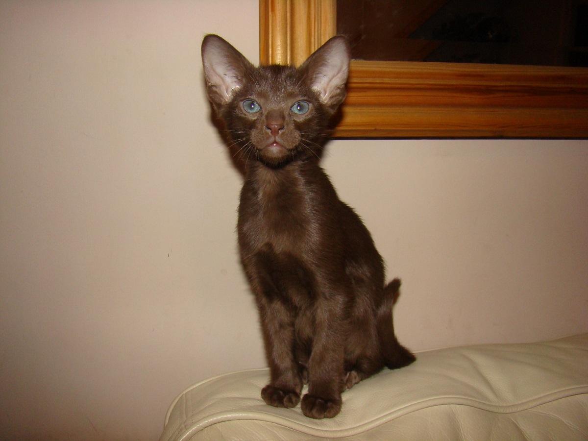 gattino di razza havana brown