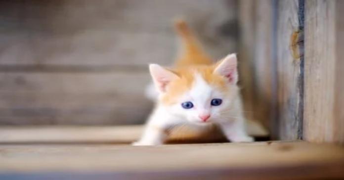 gattino bianco e arancio