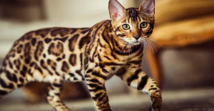 Gatto Bengala cammina