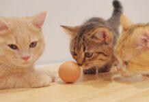 dei gattini curiosi giocano prima volta con uova fine video premio