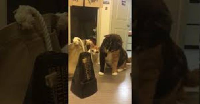 gatti guardano perplessi metronomo