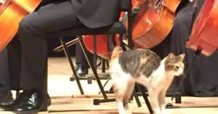 gatto interrompe concerto
