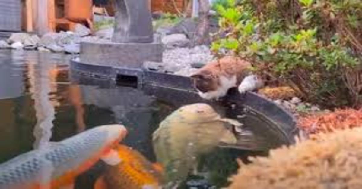 Ragdoll guarda il pesce Koi nel laghetto