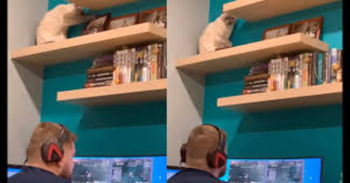 gatto sale sulle mensole per attirare l'attenzione del padrone