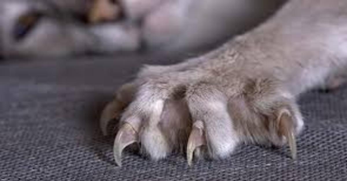 zampa gatto con unghie