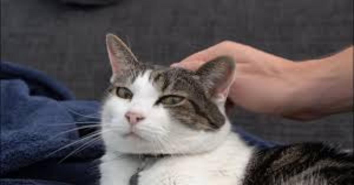gatto bianco e grigio accarezzato