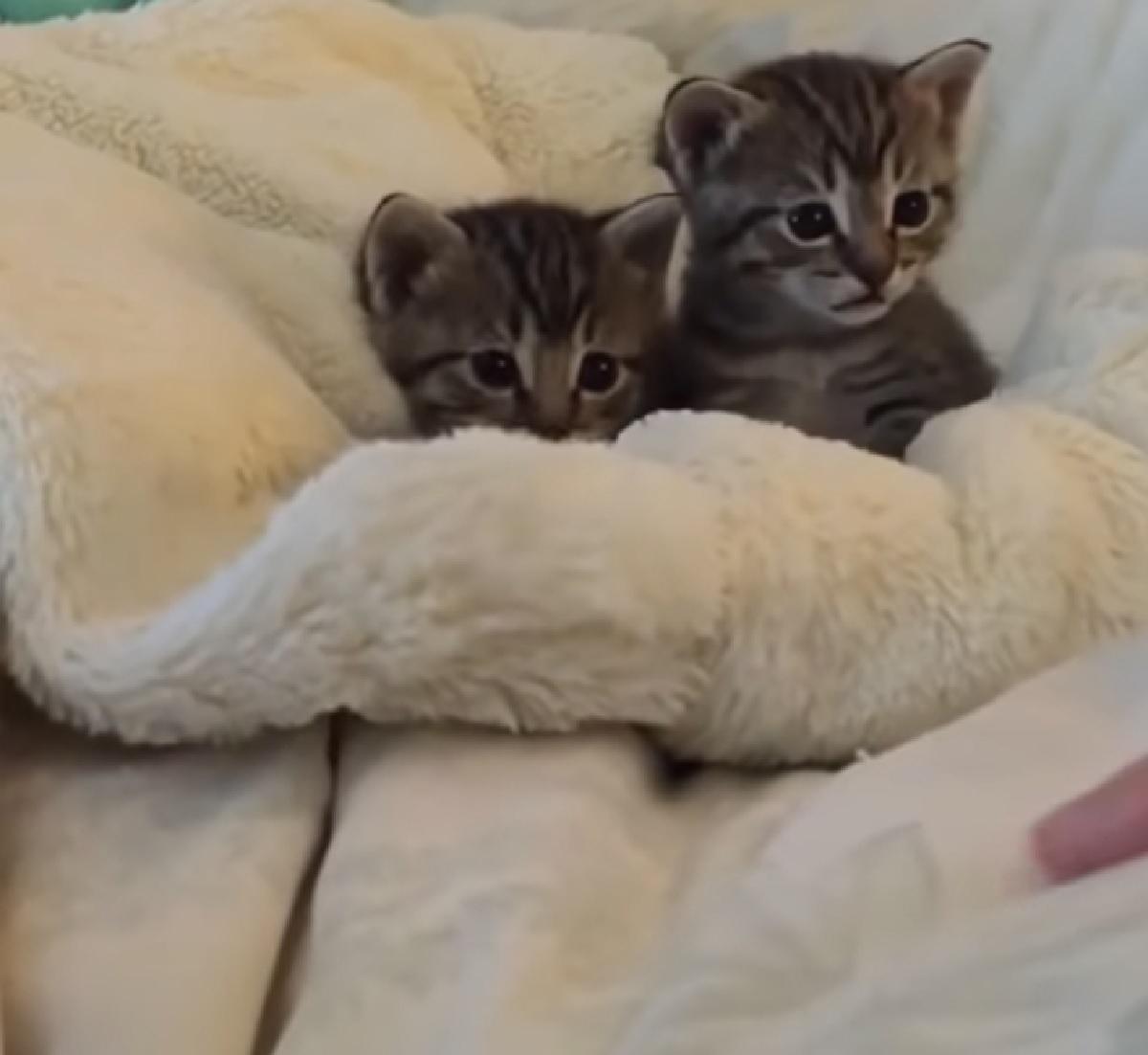 gattini celtici alle prese con dito