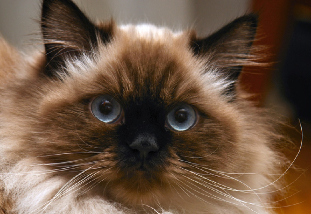 distinguere razze gatto pure da mista