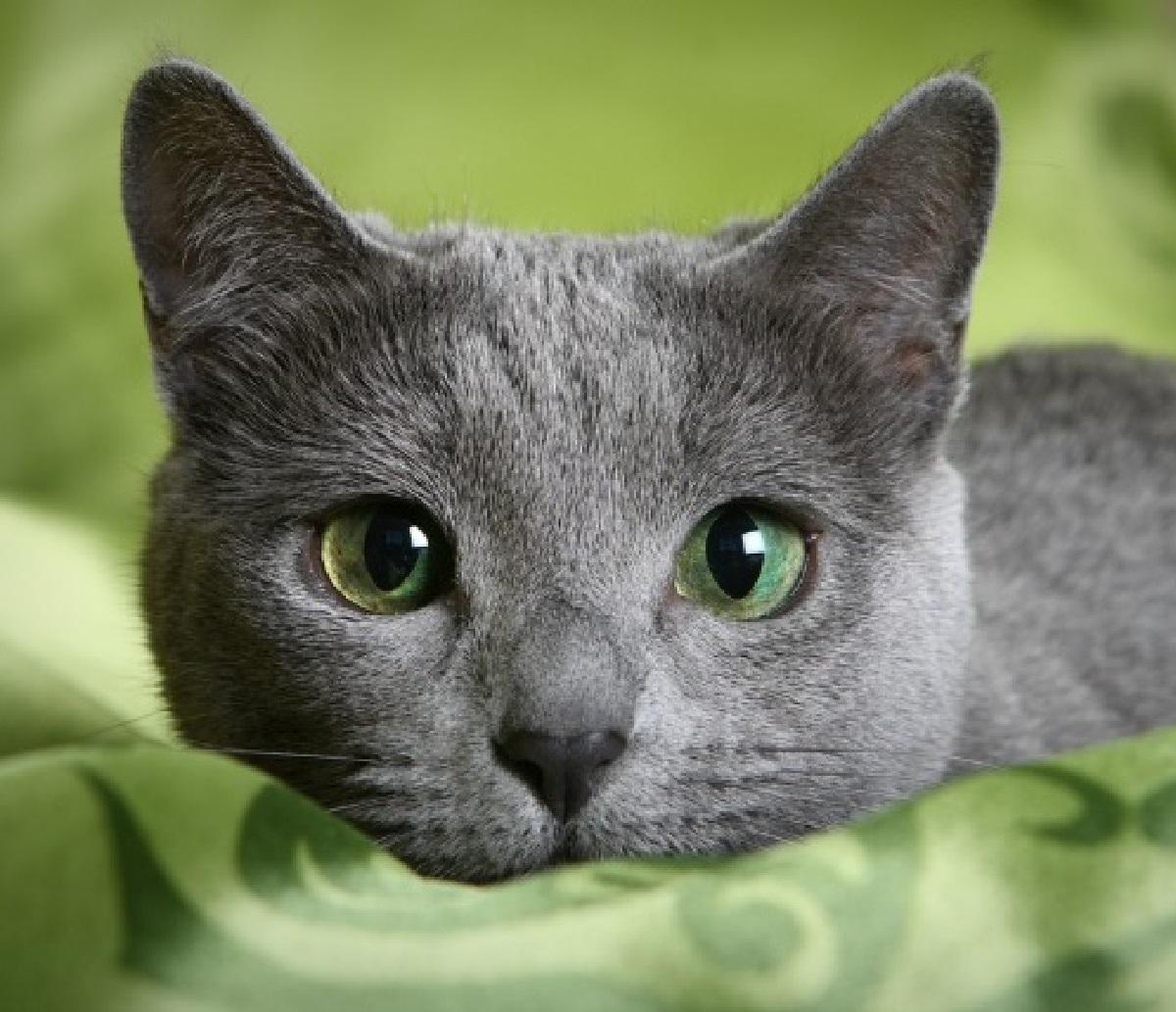 razza gatto colorazione occhi