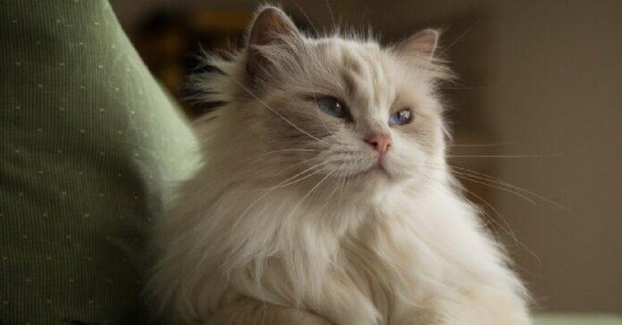ecco tutti trucchi per capire quale razza gatto modo preciso indiscutibile