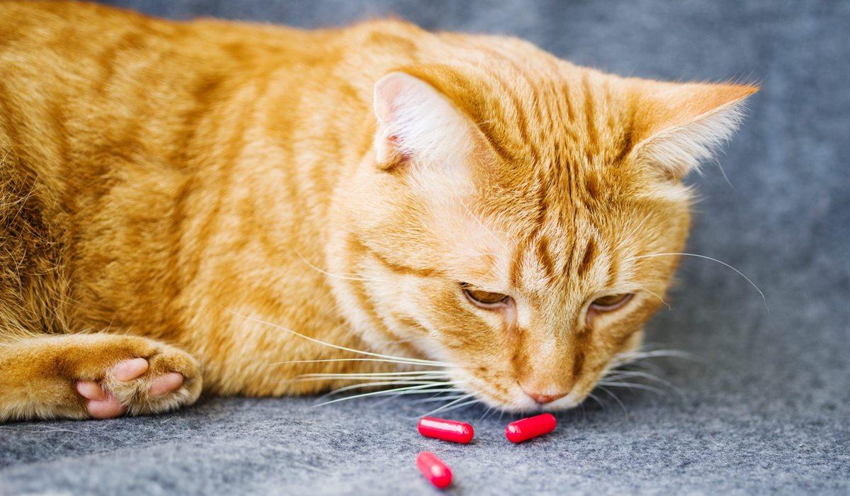 gatto non vuole la medicina