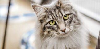 gatto tigrato a pelo lungo