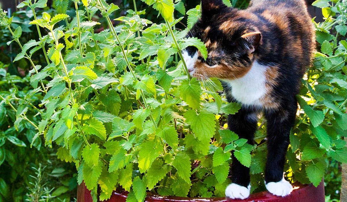 gatto annusa l'erba gatta