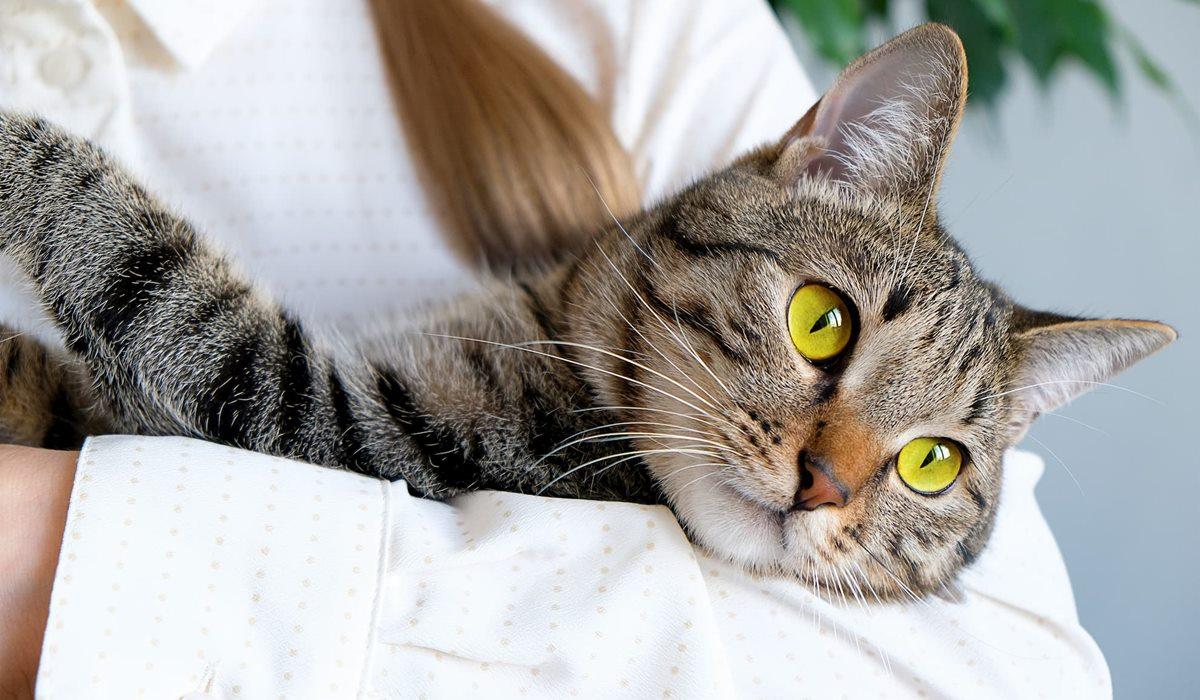 veterinario tiene in braccio un gatto tigrato