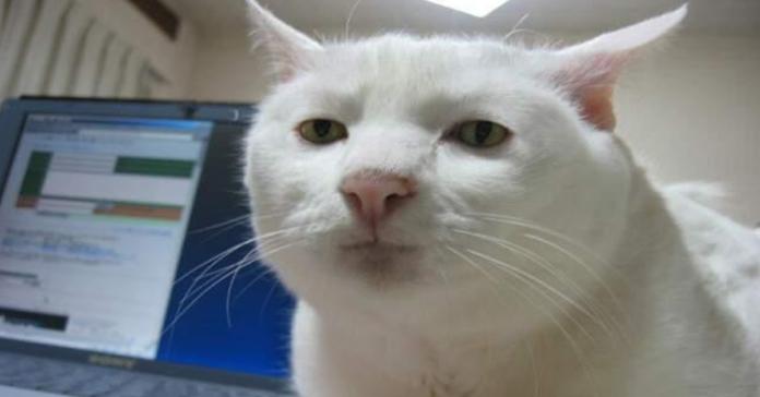 gatto bianco faccia strana