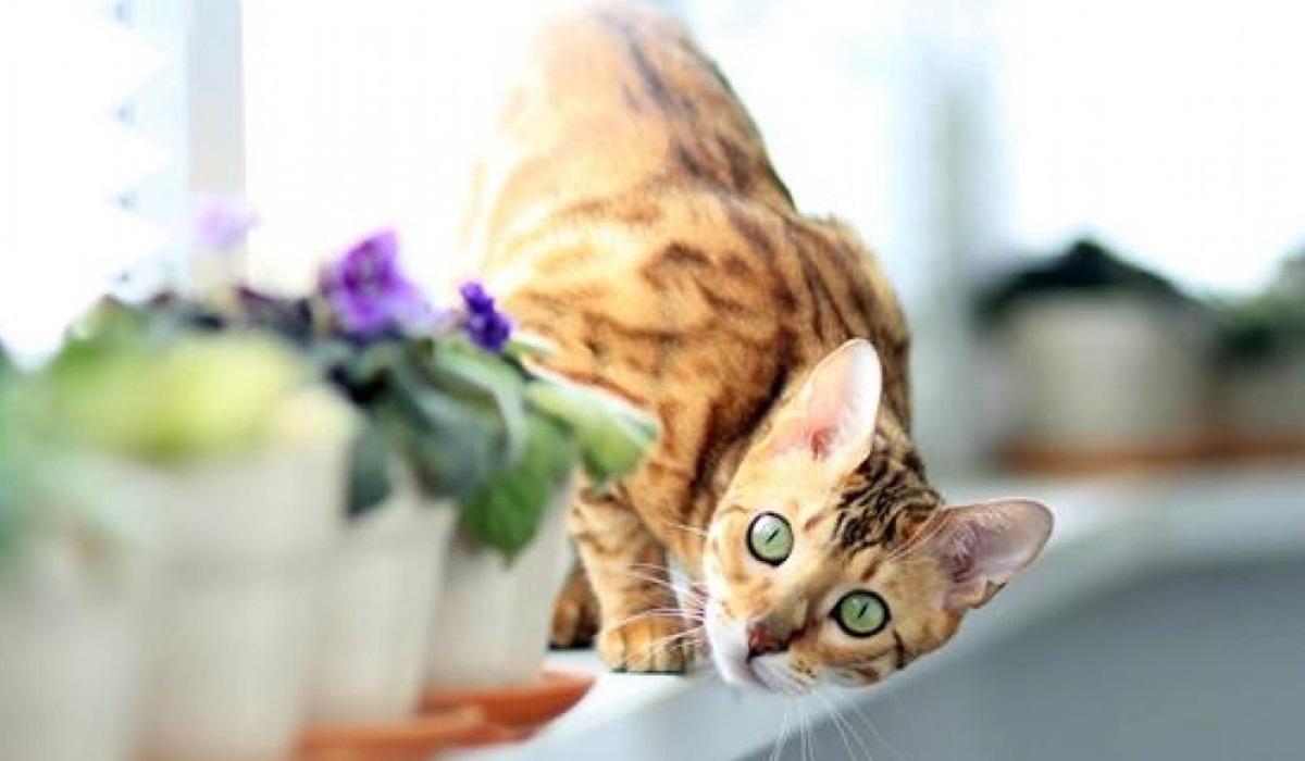 gatto con il mantello maculato