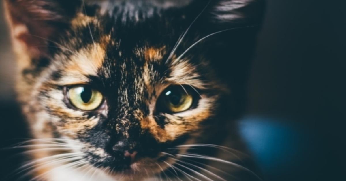 gatto tre colori primo piano