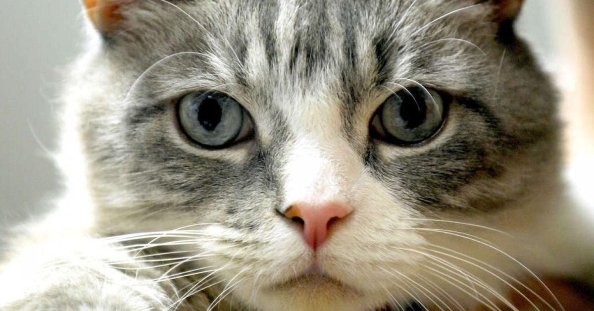 gatto con il pelo bianco e grigio
