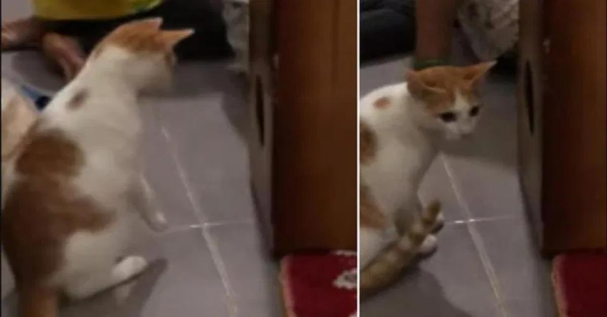 gatto perplesso di fronte al cajon