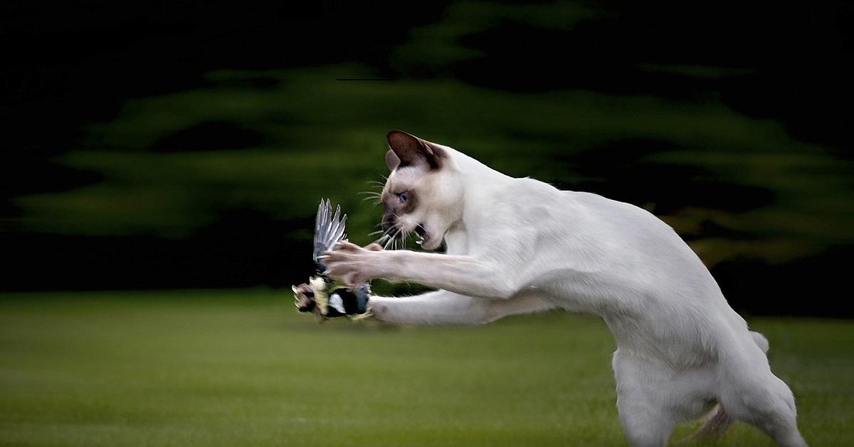 gatto a caccia di uccelli