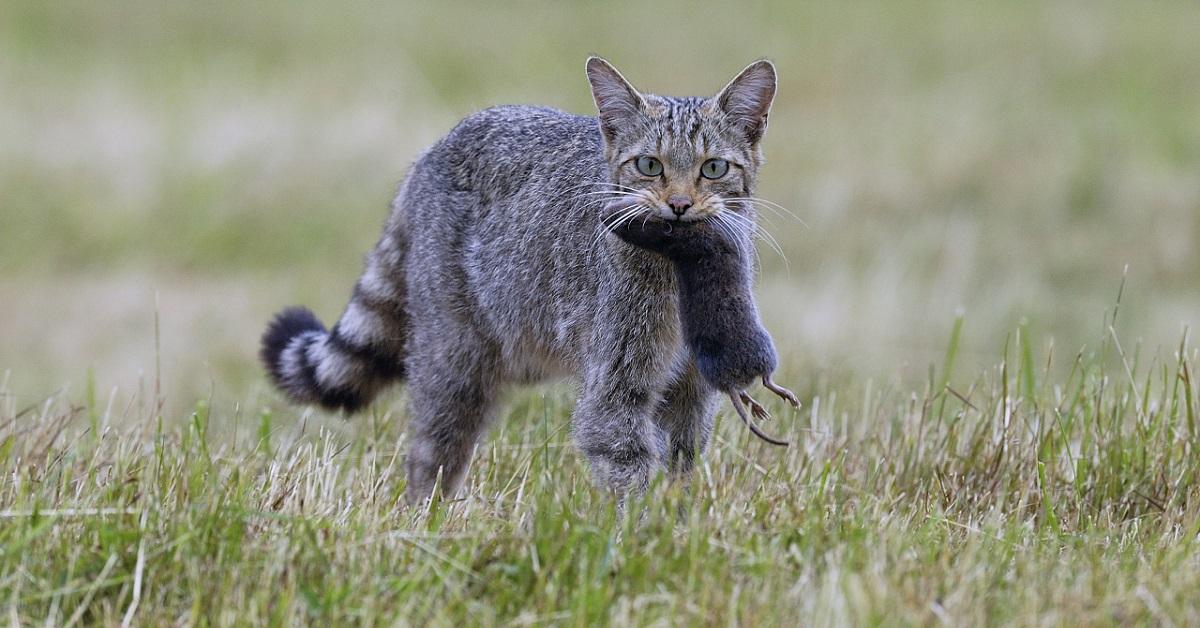 gatto ha catturato topo