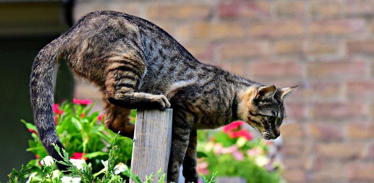 gatto in posizione di caccia