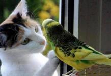 gatto e pappagallo amici